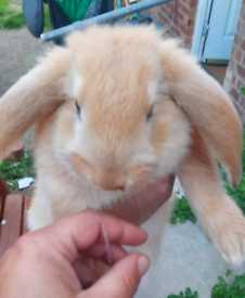French lop x continental giant LAST ONE