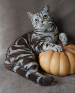 Scottish Fold pure breed registred with paper