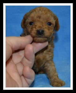 CKC Registered Red Male Poodle Puppy.