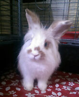 Lionhead Bunny/Rabbit with cage and supplies