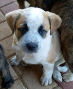 Puppies 8 weeks Staffy Heeler x Ready for new homes