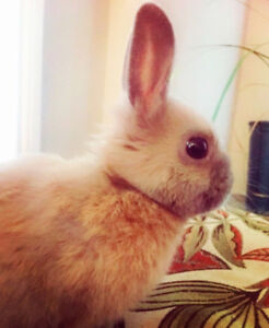Dwarf Male Rabbit with Cage/Supplies