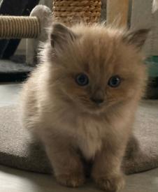 5 X Ragdoll kittens, Full pedigree