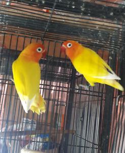 Yellow fischer lovebird proven pair for sale