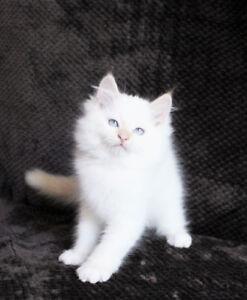 CREAM POINT RAGDOLL Kittens