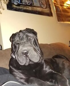 2 Purebred Chinese Shar-Pei Puppies for Sale