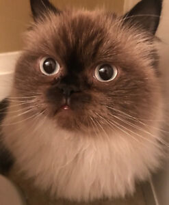 Cute fluffy Himalayan Kitty for rehoming!!