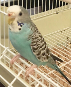 Lost Blue Budgie