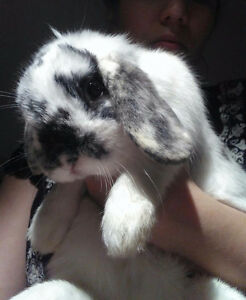 Holland lop with cage