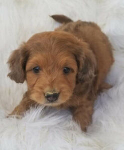 Aussiedoodle Kijiji In Ontario Buy Sell Save With Canadas