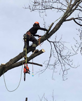 Looking to hire a tree climber/arborist