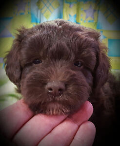 Chocolate SCHNOODLES from Registered parents Schnauzer/Poodle