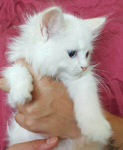 TICA Flame bicolour kittens - Neutered or Spayed