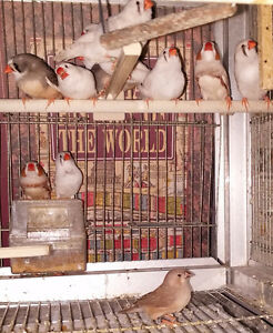 7 Adult Zebra Finches - Male & Female, 2016 March & April Babies London Ontario image 3