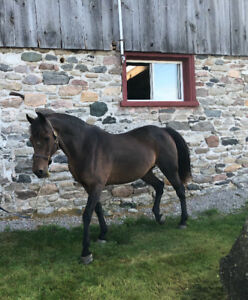 10yr old 14hh Morgan Welsh mare