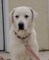 1 Year Old Female Great Pyrenees/Great Dane Cross
