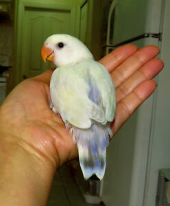 SUPER TAME handfed baby lovebird (whiteface)