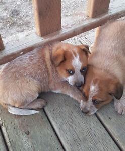 Red Heeler Pupps