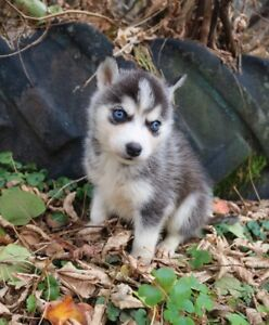 Canadian Kennel Club Registered Siberian Husky puppies