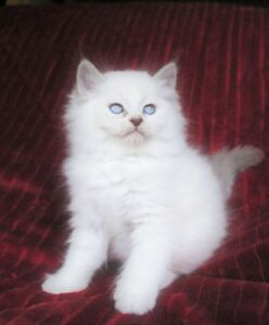 Beautiful RAGDOLL KITTENS for Adoption