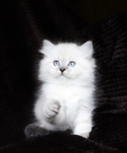 Beautiful   Persian   Himalayan   kittens      =ටᆼට=