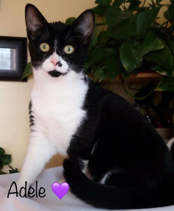 Black n White Kitty, Adele, for Adoption with KLAWS
