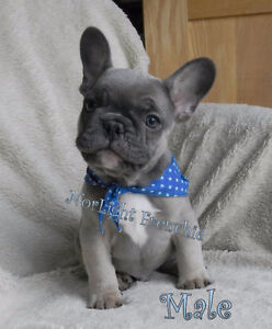 CKC Reg'd Blue French Bulldog pups, upcoming Litter of Blues