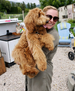 F3b Goldendoodle puppies Golden doodle