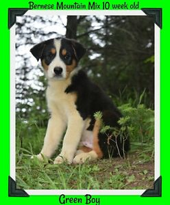 Bernese mountain dog x husky !! Only 1 male left