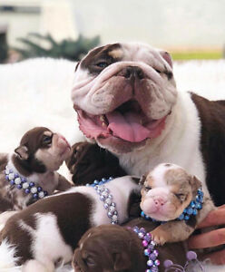 Rare English bulldogs available for the first time in CANADA !