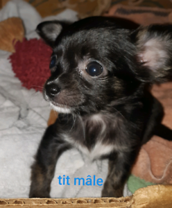 Chihuahua pure race 3-4lbs max et reste 1 toy