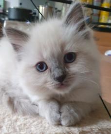 Pedigree Ragdoll Kitten