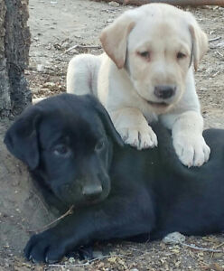 BEAUTIFUL YELLOW / BLACK LAB PUPPIES (READY TO GO SOON)