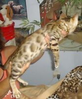 CHARMANT PETIT MATOU BENGAL BROWN SPOTTED