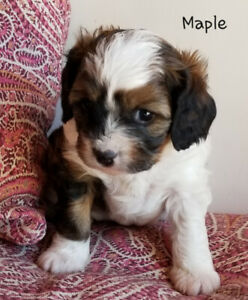 Puppies | Kijiji in Alberta  - Buy, Sell & Save with