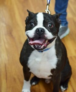 **Sweet Manny - BOSTON TERRIER cross is available for adoption**