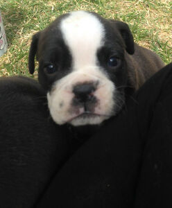 Registered olde English bulldogge pups