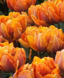 Fall Bulb (TULIPS) Blowout: Save 50-70% OFF ENTIRE INVENTORY Kitchener / Waterloo Kitchener Area image 9