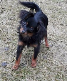 Russian toy terrier boy available