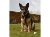 MISSING DOG - GERMAN SHEPHERD - REWARD