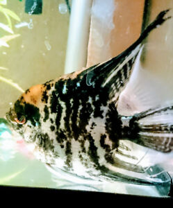2 Angel fish for sale