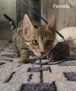 Bengal kittens TICA registered available