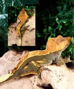 Crested Gecko Breeders