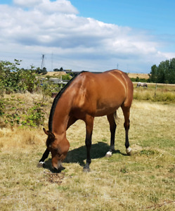 * Purbred Registered Arabian Mare 3 years old