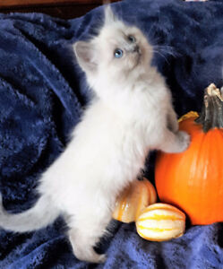 Ragdoll kitten looking for his forever home