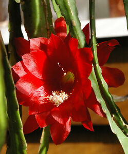 "Epiphyllum "" Red Dragon ""  Orchid Cactus"