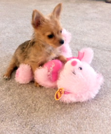 Yorkshire terrier cross papillon puppy for sale