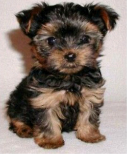 Toy or Teacup Yorkie Puppy WANTED TO PURCHASE