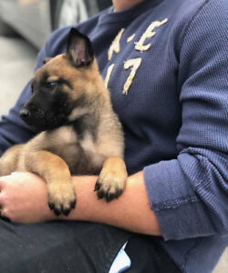 Malinois pups to approved homes