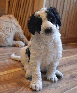 F1B Bernedoodle puppies just in time for Xmas Belleville Belleville Area image 6